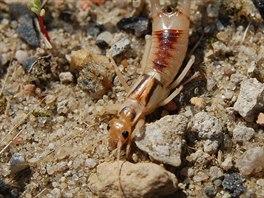 Nejv�t��m �esk�m druhem je �kvor velk� (Labidura riparia). M�e m��it 18-36 mm.