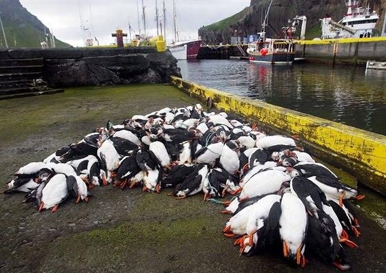 Na Islandu se ročně uloví desetitisíce papuchalků.