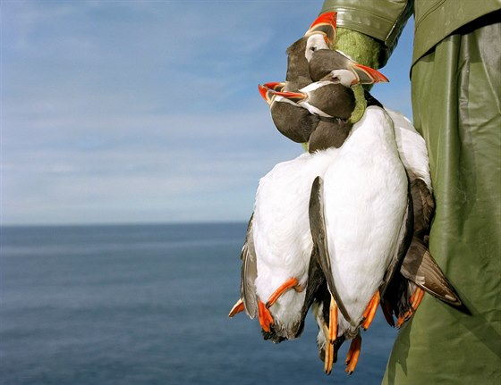 Lov papuchalků je na Islandu tradicí.