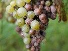 Plíseň, která momentálně trápí jihomoravské vinaře.