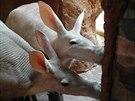 Při krmení tak i hrabáči v zajetí využijí svůj několik desítek centimetrů...
