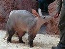 Hrabáč, to je bizardní tělo s malou hlavou, dlouhým čumákem a velkýma ušima.
