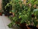 Část sklizně z prvníh roku pěstování: lusky ve tvaru jablíčka jsou papričky...