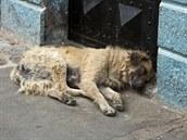 Toulaví psi p�edstavují pro Kábul velký zdravotní problém. Ilustra�ní snímek.