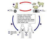 Životní cyklus toxoplazmózy a nákaza člověka