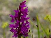 Začátkem července jsou kaçkarské louky poseté pestrobarevnými květy, mezi...