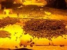 V odhalené pěstírně kriminalisté objevili přes tisíc rostlin konopí a několik...