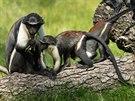 Kočkodani si nového výběhu v ostravské zoo užívají.