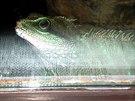 Chameleon v ZOO (Dv�r Králové nL.)