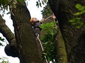 V koruně. Zraněný muž uváznul ve výšce patnácti až dvaceti metrů.