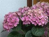 Hortenzie jsou velice oblíbené díky svým nepřhlédnutelným květům, tak proč si...