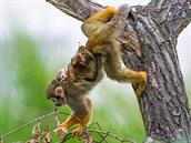 Ani kojící samice kotula v sobě akrobata nezapře.