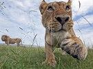 Mládě lva pustinného (Panthera leo) zachycené fotopastí v keňské přírodní...