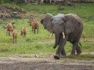 Slon africký míří k napajedlu, antilopy bongo od něj odcházejí.