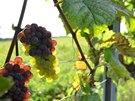 Vinobraní 2014, hrozen odr�dy Rulandské �edé (Pinot Gris) s n�kolika bobulemi Rulandského bílého (Pinot Blanc) na vini�ní trati Nadzahrady, Velké Pavlovice