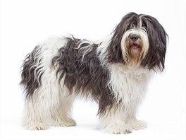 Staroanglický ovčák se stal hrdinou filmu The Shaggy dog,  u nás uváděný jako...