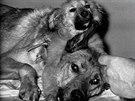Oběti Vladimíra Demichova. Ani tyto psy nečekal dlouhý život.