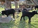 BRUTÁLNÍ ÚTOK. O víkendu někdo napadl ovce ve skanzenu v Kosmonosech.