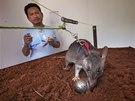 Tanzanské krysy se učí odhalit trinitrotoluen. Právě ten se dá najít ve většině