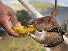 Krysu, která objeví nášlapnou minu, čeká sladká odměna. Na univerzitním