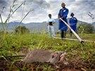 Cvičení krysích hrdinů na pozemcích tanzanské univerzity. Zkušenější hlodavci