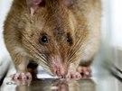 Některé krysy pracují v terénu, jiné v laboratořích. Místo nášlapných min