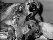 Psí hlava přišitá na tělo jiného psa (Vladimír Demichov)