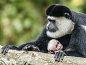 Lomela, samice guerézy pláštíkové, s čerstvě narozeným mládětem