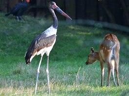 Samice čápa sedlatého prozkoumává výběh v zoologické zahradě ve Dvoře Králové...