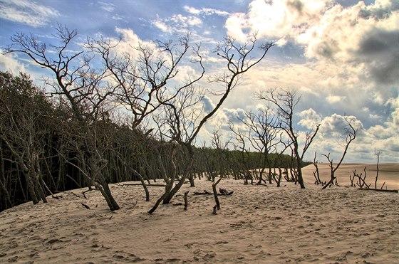 Neust�le postupuj�c� p�se�n� duny postupn� poh�b�vaj� lesn� porost. Poutn�k m�...