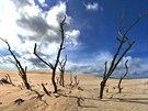 Neustále postupující písečné duny postupně pohřbívají lesní porost. Poutník má...