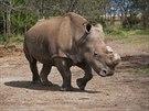 V rezervaci v Keni uhynul vzácný nosorožec bílý severní Suni.
