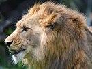 Lev berberský v královédvorské zoo.