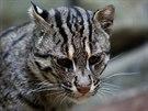 Kočka rybářská patří mezi drobnější kočkovité šelmy, ve srovnání s běžnou...