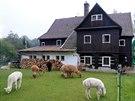 Lamí farma Jany Pražanové, to je lamí stádo pasoucí se nedaleko domu jejího...