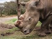 V rezervaci v Keni uhynul vzácný nosoro�ec bílý severní Suni.