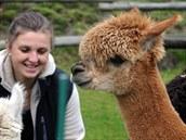 Jana Pra�anová s lamami alpaka, které jsou zdrojem jemné h�ejivé srsti.