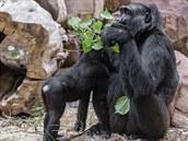 Po pár dnech p�estaly gorily novou �t�pku �e�it, u� si na v�t�í kousky d�eva na...