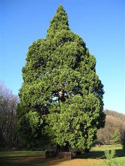 Sekvojovec obrovský v Chabaních