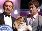 Vítěz brněnské Evropské a Národní výstavy psů - belgický foxteriér King Arthur...