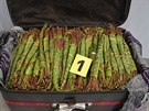 Celníci v kufrech Nizozemce našli jednatřicet kilogramů výhonků rostliny katy.