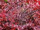 Korálky z kapek na podzimní pavu�in�