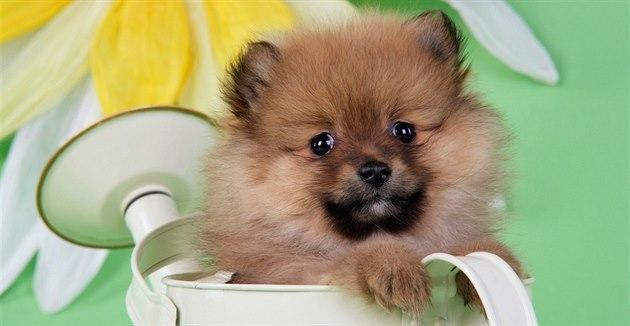 Pomeranian je malý veselý pejsek, který je dokonalým spole�níkem.