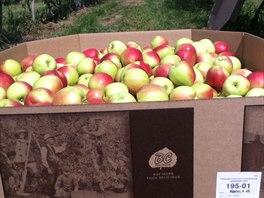 První várka jablek se trhala do papírových krabic a šla rovnou do obchodů.