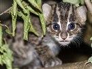 Na konci října už mládě kočky rybářské začalo opatrně vykukovat z boudičky, kde od porodu tráví se svou matkou většinu času.