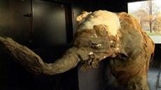 Mamutí mlád�, zhruba desetiletá sami�ka pojmenovaná Juka, je práv� vystavena v...