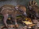 Obě mláďata prasat visajánských jsou velmi čilá.