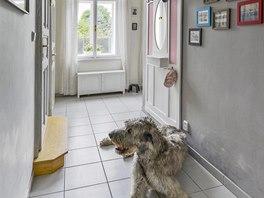 V předsíni rád polehává strážce domu, dvouletý vlkodav Henry.