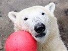 Medv�d Nanuk slaví v brn�nské zoo druhé narozeniny.