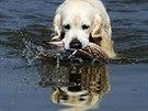 Zlatý retrívr při lovu kachen